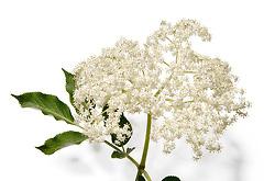 Kn_Pfl_ein_Holunder002me Blüten