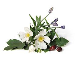 Kn_Pfl_meh_Wildrose_Lavendel001me